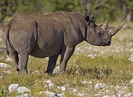 Black Rhino Safari Content 2 - Ultimate Wildlife Adventures