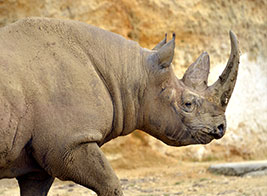 Black Rhino Safari Content 3 - Ultimate Wildlife Adventures