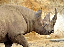 Black Rhino Safari Content 3 - Ultimate Wildlife Adventures