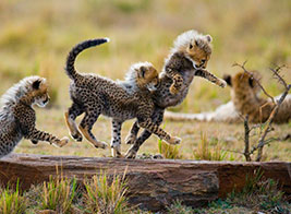Cheetah Safari Content 1 - Ultimate Wildlife Adventures