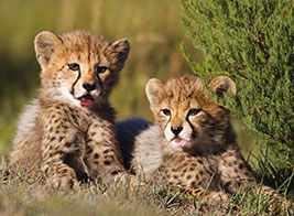 Cheetah Safari Content 2 - Ultimate Wildlife Adventures