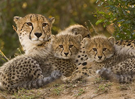 Cheetah Safari Content 3 - Ultimate Wildlife Adventures