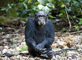 Chimpanzee Safari Content 1 - Ultimate Wildlife Adventures
