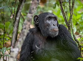 Chimpanzee Safari Content 2 - Ultimate Wildlife Adventures