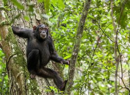 Chimpanzee Safari Content 3 - Ultimate Wildlife Adventures