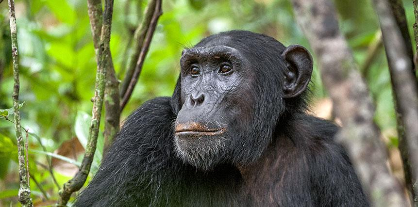 Chimpanzee Safari - Ultimate Wildlife Adventures
