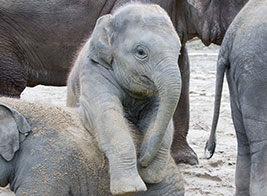 Elephant Safari Content 1 - Ultimate Wildlife Adventures