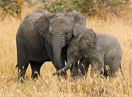 Elephant Safari Content 3 - Ultimate Wildlife Adventures