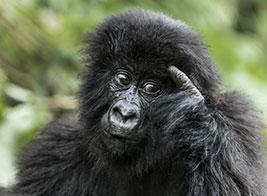 Gorilla Safari Content 1 - Ultimate Wildlife Adventures