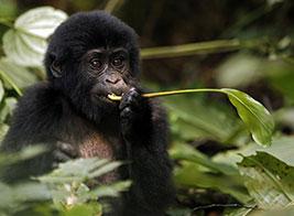 Gorilla Safari Content 2 - Ultimate Wildlife Adventures