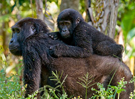 Gorilla Safari Content 3 - Ultimate Wildlife Adventures