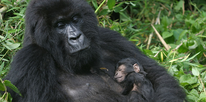 Gorilla Safari - Ultimate Wildlife Adventures