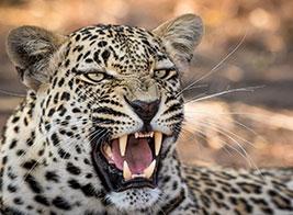 Leopard Safari Content 1 - Ultimate Wildlife Adventures