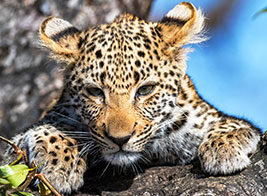 Leopard Safari Content 2 - Ultimate Wildlife Adventures