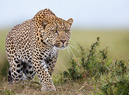 Leopard Safari Content 3 - Ultimate Wildlife Adventures