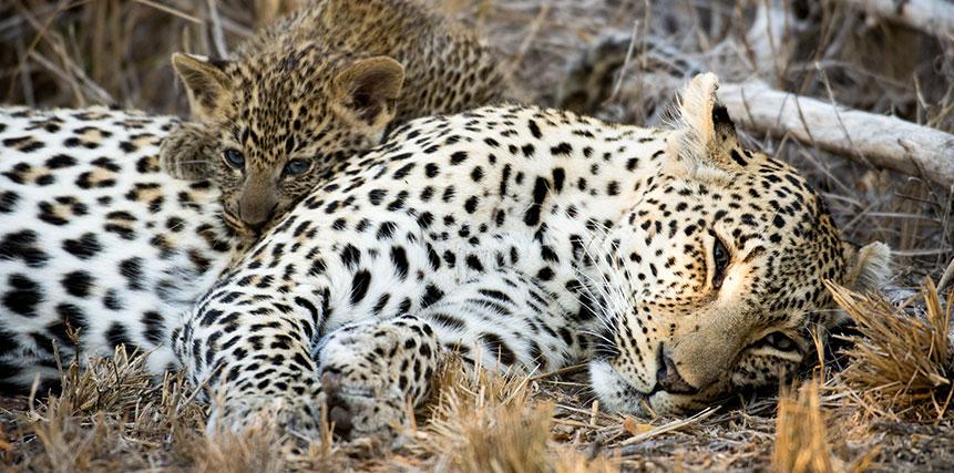 Leopard Safari - Ultimate Wildlife Adventures