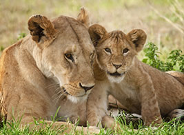 Lion Safari Content 1 - Ultimate Wildlife Adventures