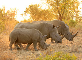 White Rhino Safari Content 1 - Ultimate Wildlife Adventures