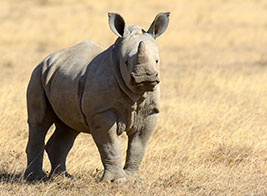 White Rhino Safari Content 2 - Ultimate Wildlife Adventures