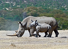 White Rhino Safari Content 3 - Ultimate Wildlife Adventures