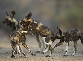 Wild Dog Safari Content 1 - Ultimate Wildlife Adventures