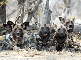 Wild Dog Safari Content 2 - Ultimate Wildlife Adventures