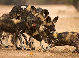 Wild Dog Safari Content 3 - Ultimate Wildlife Adventures