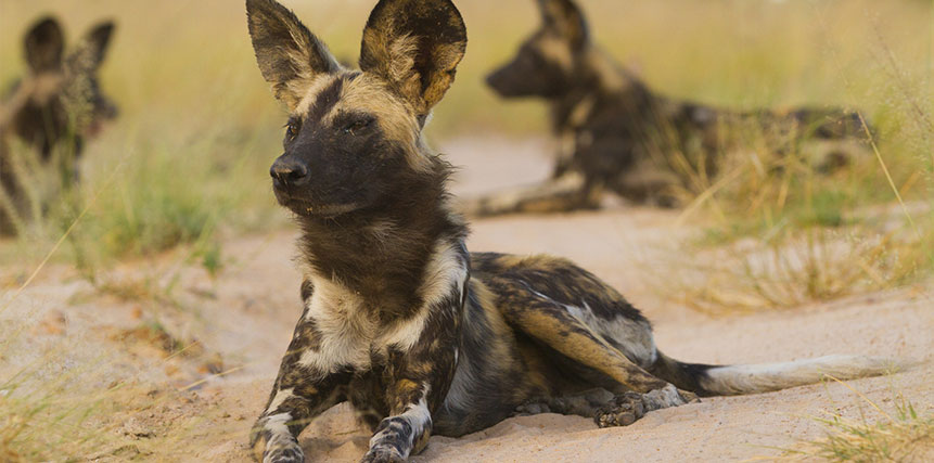 Wild Dog Safari - Ultimate Wildlife Adventures