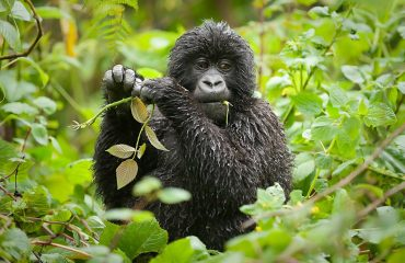 Mountain gorillas are largely herbivorous and will spend approximately half of their waking hours foraging for vegetation.