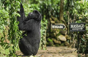 Fortunate guests at Bwindi Volcanoes Lodge don't always have to wait to go gorilla trekking... the gorillas on occasion may come to you.