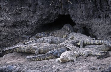 The croc caves of Katavi, dug into the dry riverbanks of the Katuma River, house both crocodiles and hippopotamus.