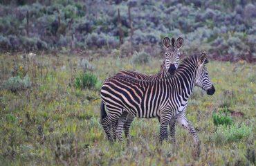 Zebra in the Kafue