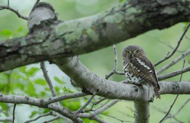 African Barred Owlet (Glaucidium capense)