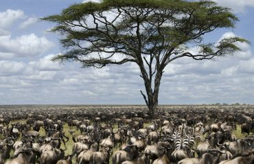 The Great Migration involves 2 million herbivores travelling approximately 2000 kilometres.