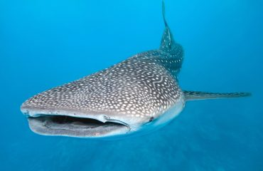 The waters surrounding Mafia Island are amongst the best places on earth to swim with huge whale sharks.