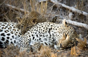 Leopard cubs stay with their mothers until 18-24 months of age. Female cubs will then reach sexual maturity and produce offspring of their own between 2 and 3 years of age.
