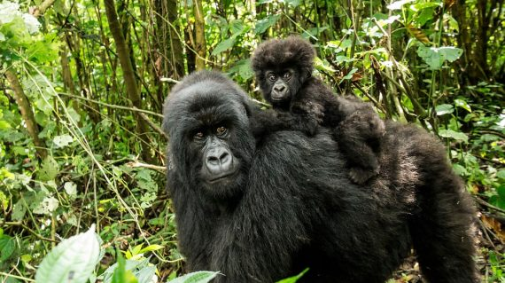 Baby gorillas will ride on their mother's back until the age of 3-6 months, after which time they will begin to walk