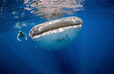 Did you know? The whale shark swims at speeds of approximately 3 miles per hour, making them easy to swim alongside even for us marine-inept humans.