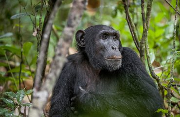 Kibale Forest is amongst the best places in the world to observe chimpanzees in the wild.