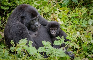 Baby gorillas have a close attachment with their mothers, being nursed and breast fed up until the age of 4 years.