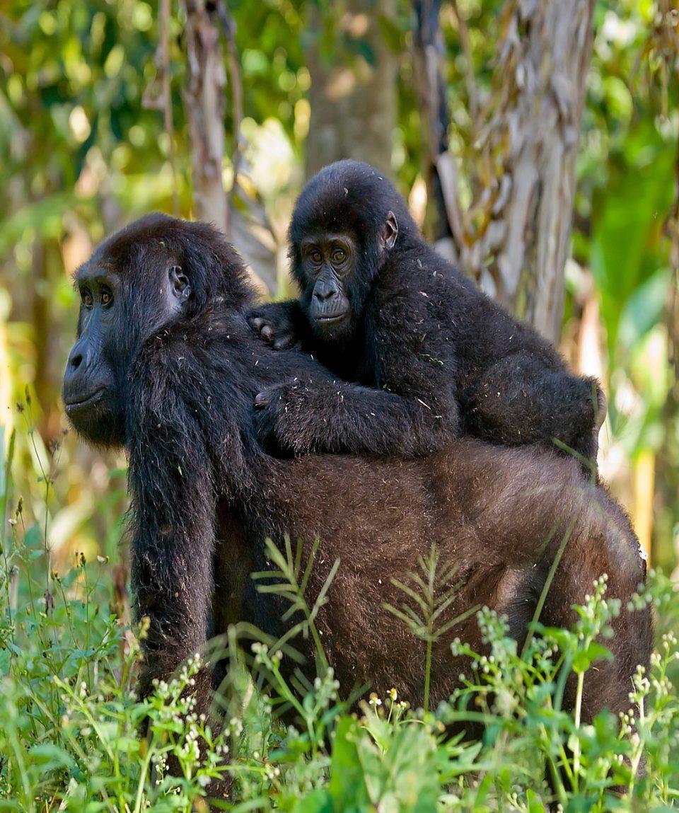 Female mountain gorilla with a baby. Uganda. Bwindi Impenetrable Forest National Park.