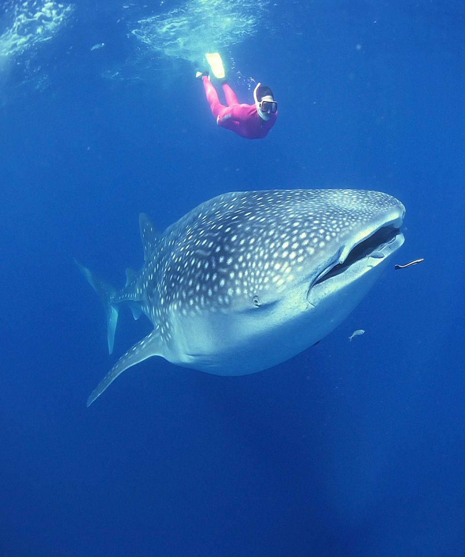 Scuba diver swimming with whale shark