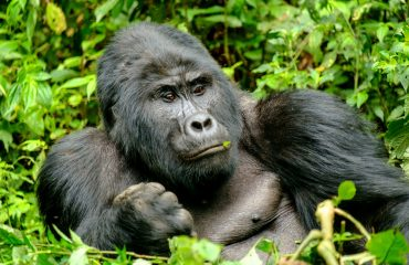 Did you know the mighty King Kong has an innate fear of caterpillars and chameleons?