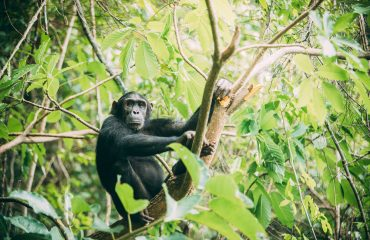 The common chimpanzee is the closest living relative of human beings, sharing 98.5% DNA.