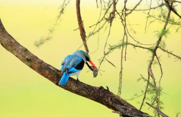 A beautiful woodland kingfisher catches the ultimate prize, a juicy armoured cricket.