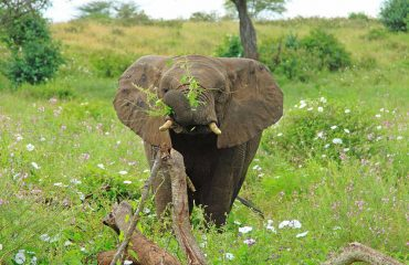 Wild elephants spend between 12 and 18 hours per day eating, with adults consuming 300 kg of vegetation.