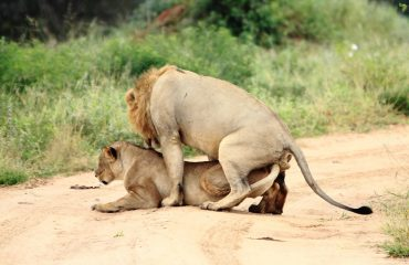 A male lion will mate with the female every 15 minutes over a 5 day period. This equates to 250 times over that period of time!