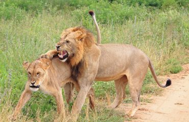 It is often the female lion who chooses which male, or males, she will mate with.