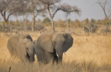 Hwange National Park is the place to go for elephant lovers. Meet 3 of the 44,000 who call it home.