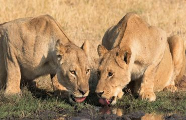 Although lions remain regular safari sightings their numbers continue to decline forcing the IUCN to list them as vulnerable.